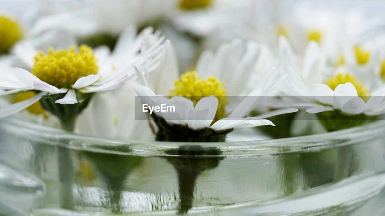 flower, white color, freshness, close-up, no people, petal, fragility, nature, beauty in nature, day, water, flower head, indoors