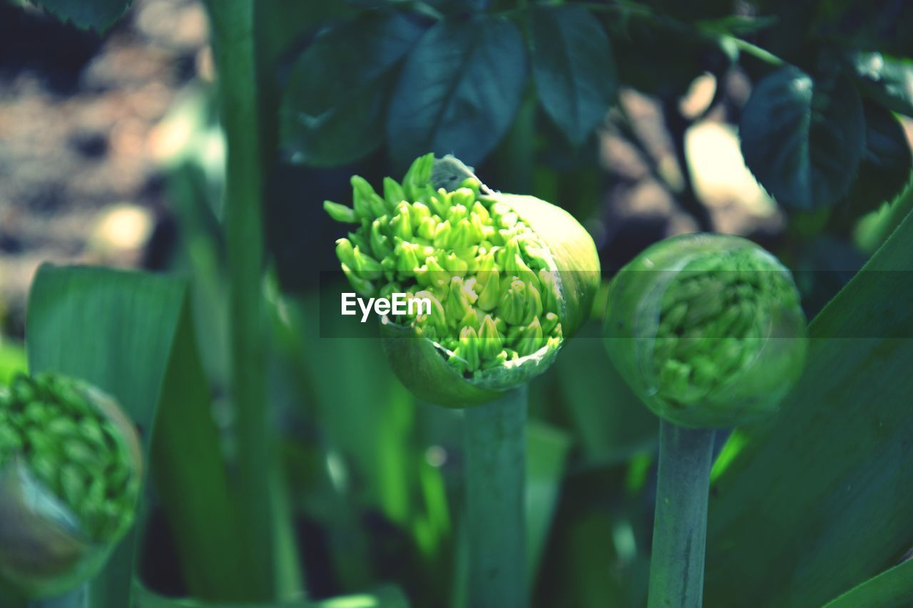 green color, growth, freshness, nature, beauty in nature, no people, flower, day, focus on foreground, outdoors, vegetable, plant, healthy eating, food, leaf, artichoke, close-up, fragility