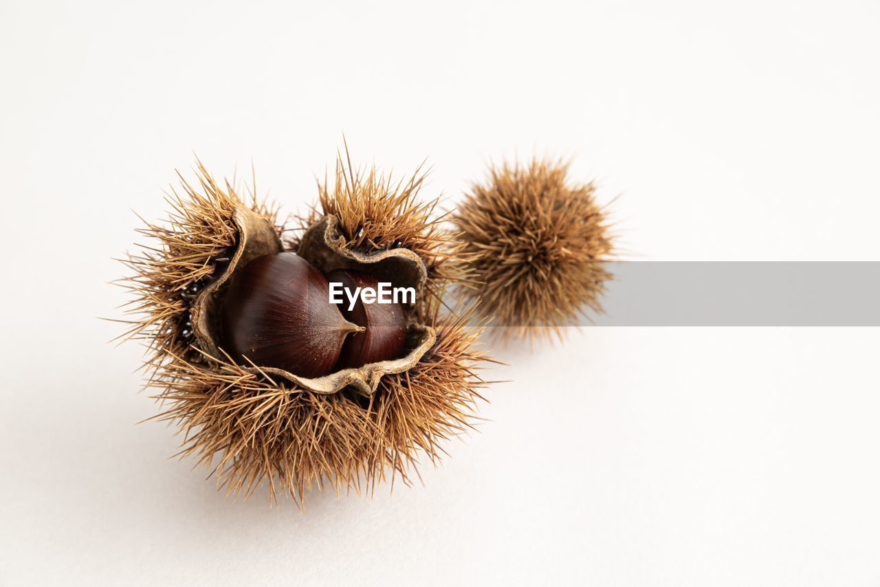 studio shot, chestnut - food, close-up, food and drink, nut - food, healthy eating, nut, wellbeing, no people, white background, food, still life, chestnut, spiked, freshness, indoors, copy space, brown, fruit, nature, spiky