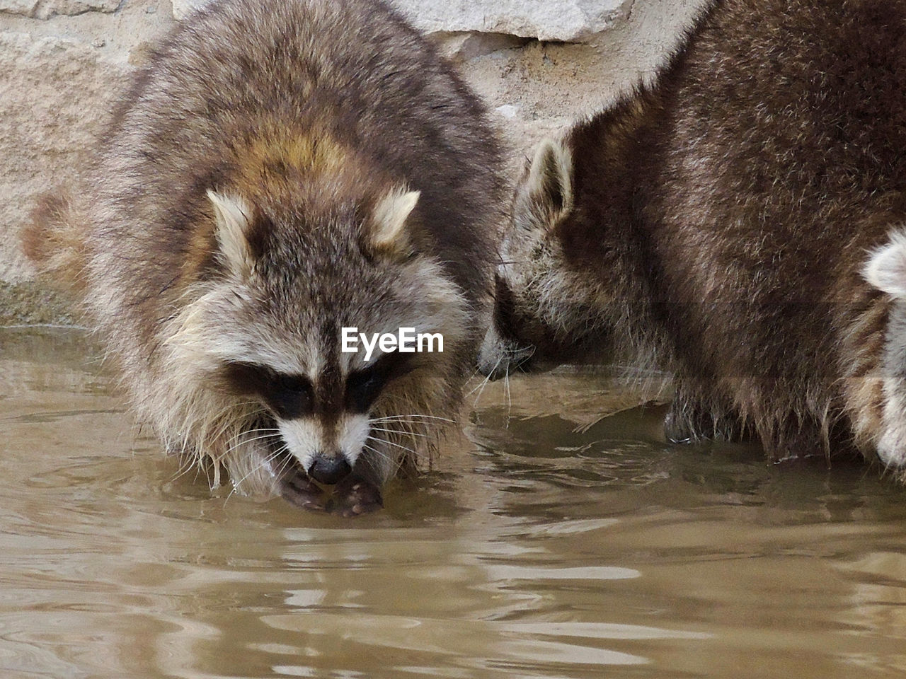 animals in the wild, animal wildlife, mammal, animal themes, one animal, water, waterfront, otter, no people, raccoon, outdoors, nature, day, close-up