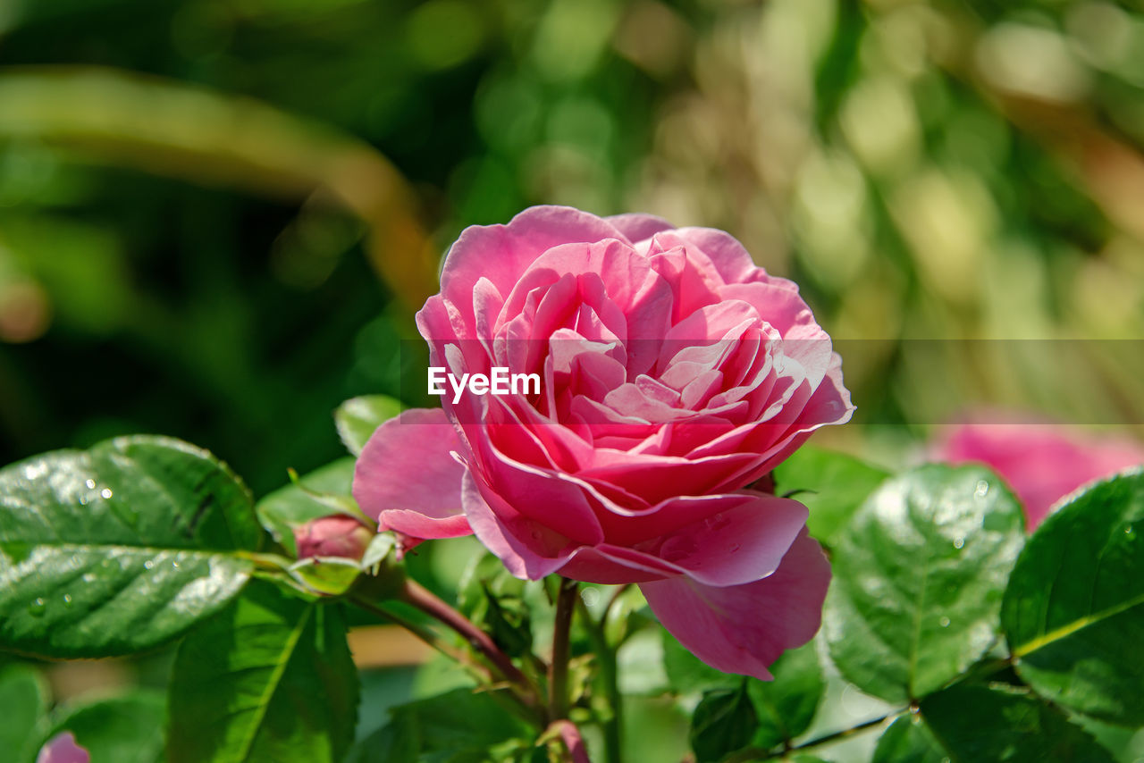 flowering plant, flower, beauty in nature, plant, petal, freshness, fragility, vulnerability, pink color, growth, close-up, inflorescence, leaf, flower head, plant part, rose, nature, focus on foreground, rose - flower, no people, outdoors, springtime