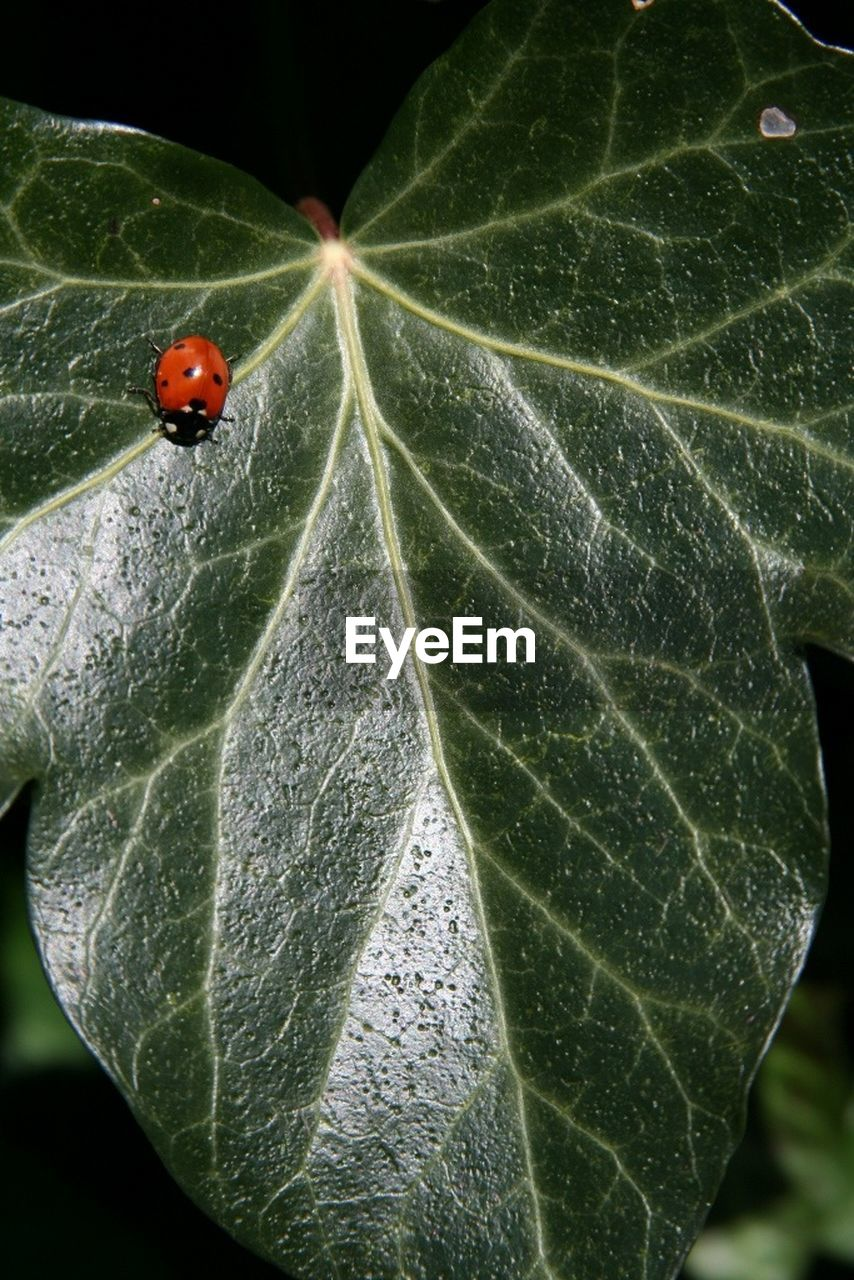 leaf, one animal, animal themes, insect, animals in the wild, close-up, wildlife, high angle view, fragility, day, outdoors, no people, animal wildlife, nature, tiny, ladybug, growth, beauty in nature, freshness