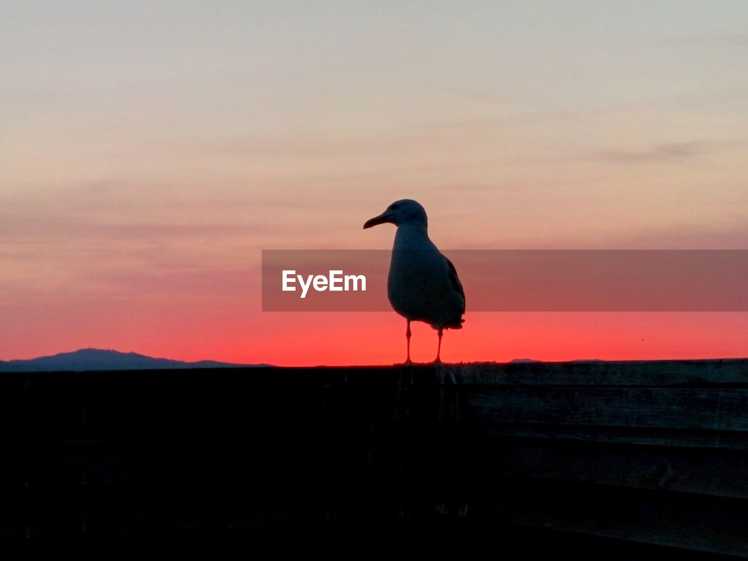 Seagull against red sky