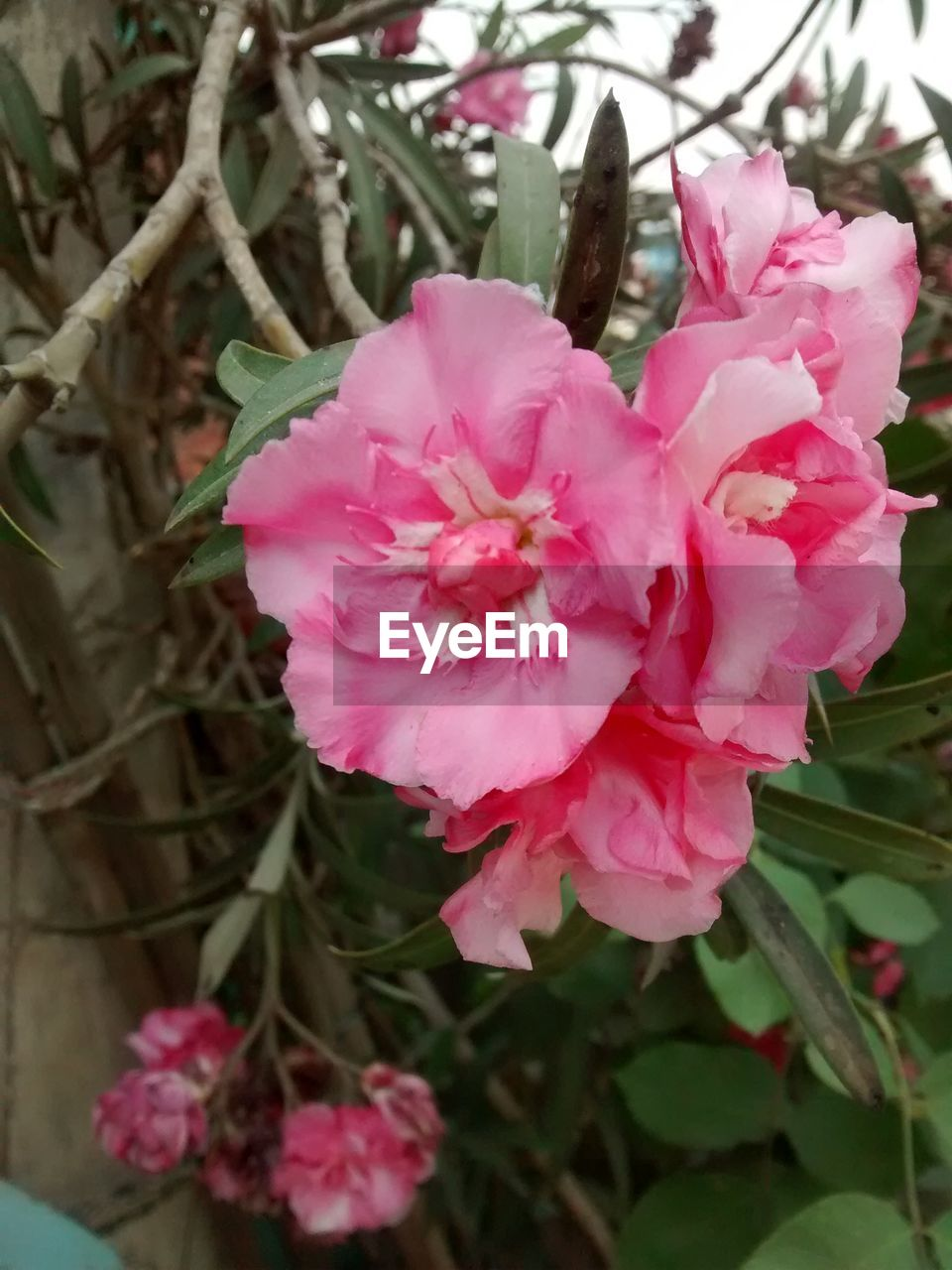 flower, pink color, petal, nature, beauty in nature, plant, growth, fragility, flower head, no people, close-up, wild rose, outdoors, freshness, day, blooming
