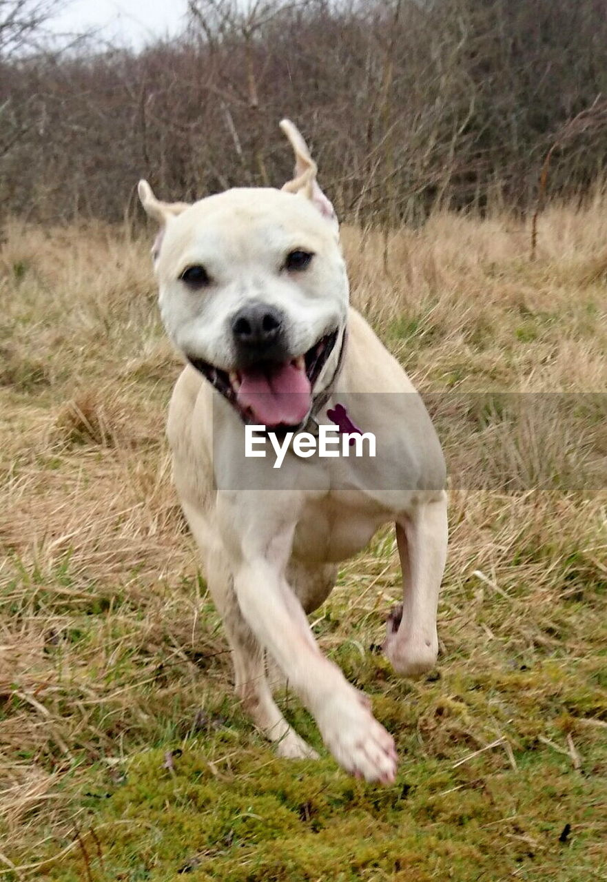 one animal, canine, mammal, dog, domestic, pets, animal themes, domestic animals, animal, running, grass, vertebrate, plant, portrait, no people, collar, land, facial expression, nature, panting, mouth open, animal tongue, animal mouth, animal head