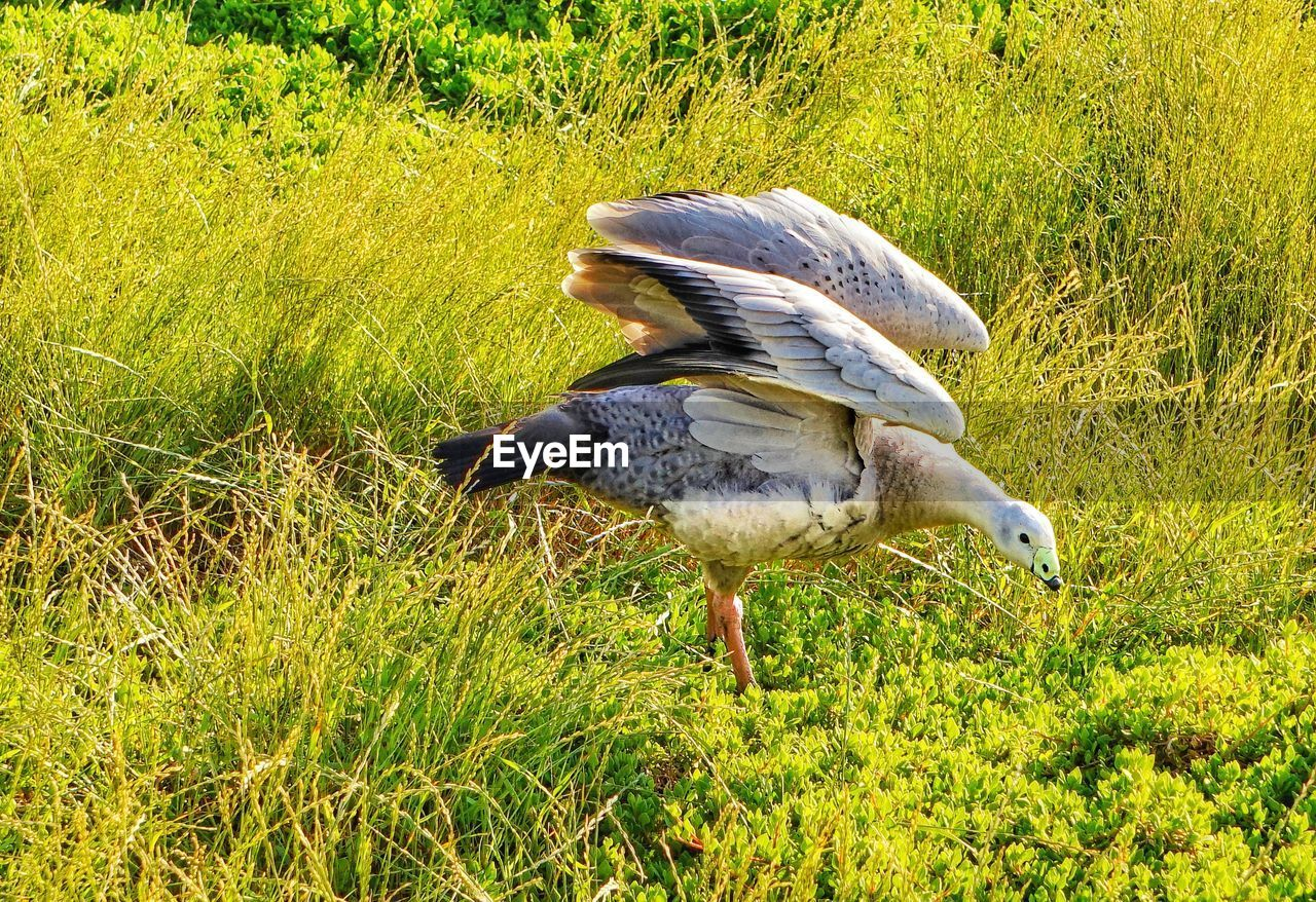 animal wildlife, vertebrate, bird, animals in the wild, animal themes, animal, grass, plant, green color, one animal, field, no people, land, nature, day, growth, sunlight, side view, outdoors, close-up, animal family
