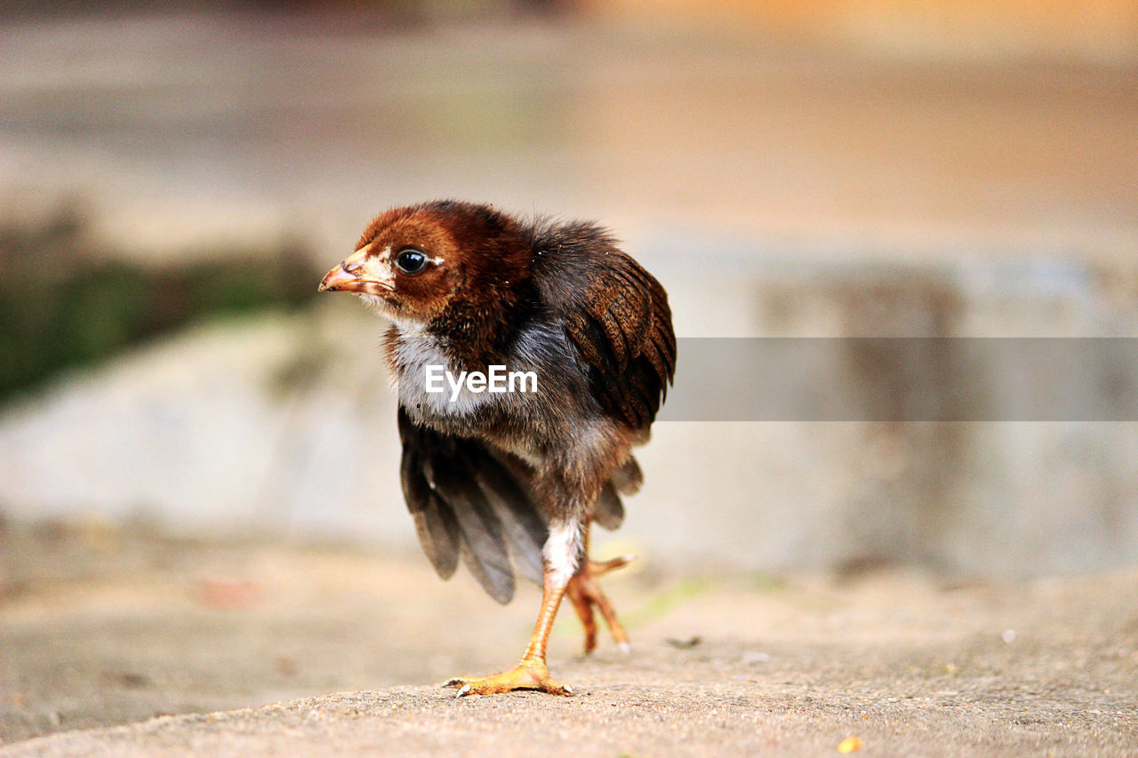 Close-Up Of Chicken Baby Walking On Field