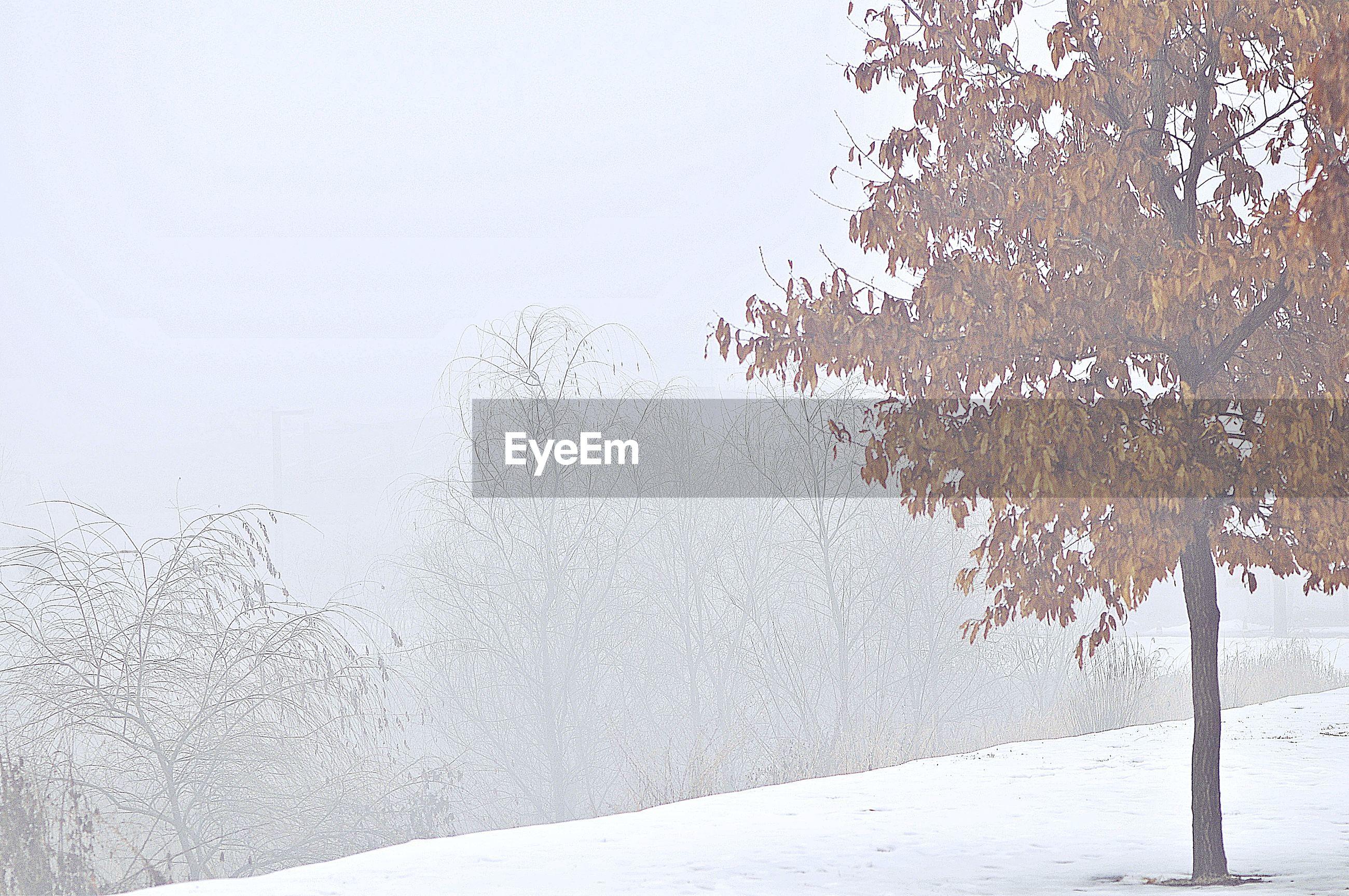 FROZEN TREE AGAINST CLEAR SKY