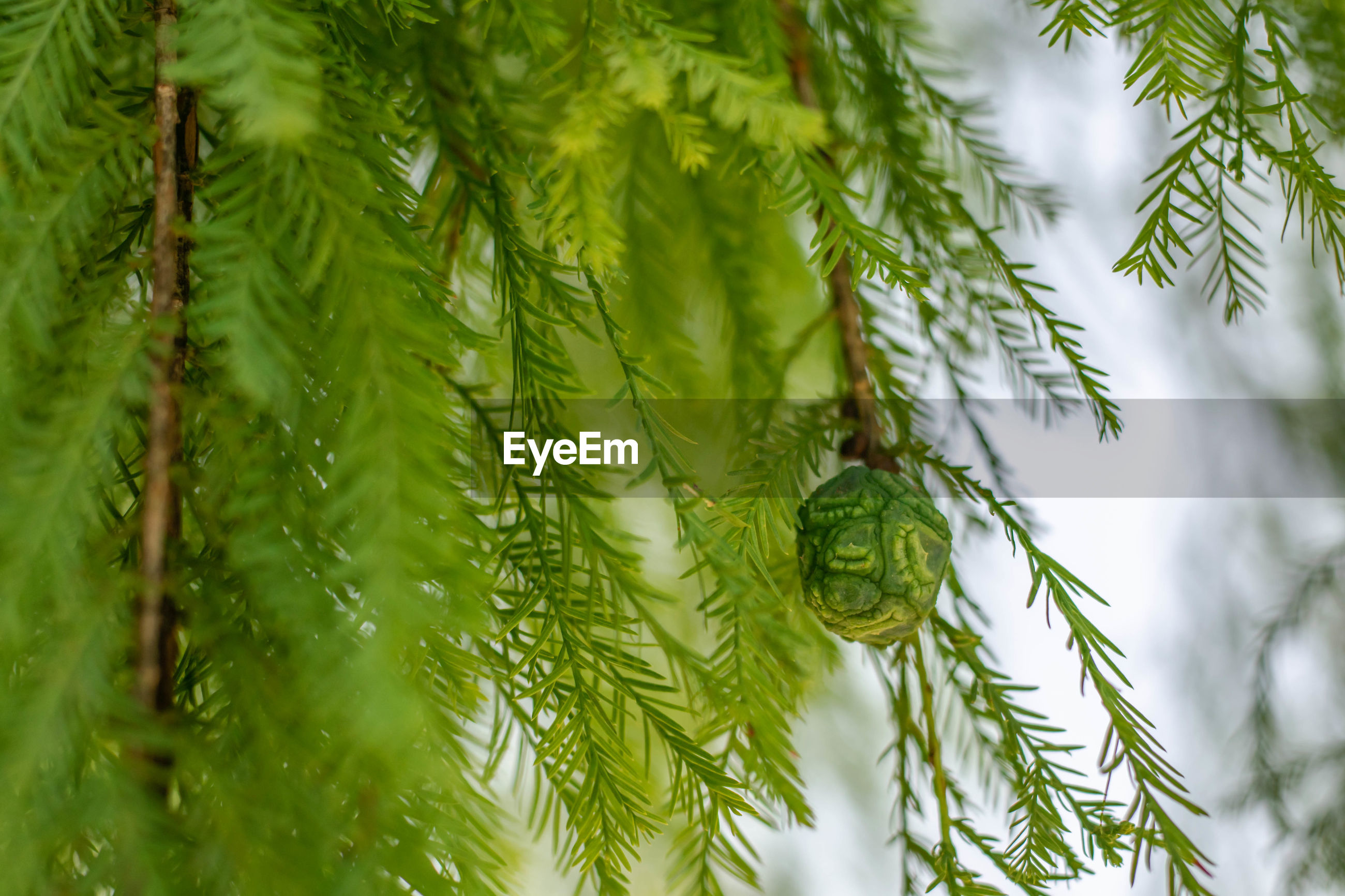 CLOSE-UP OF GREEN PINE TREE