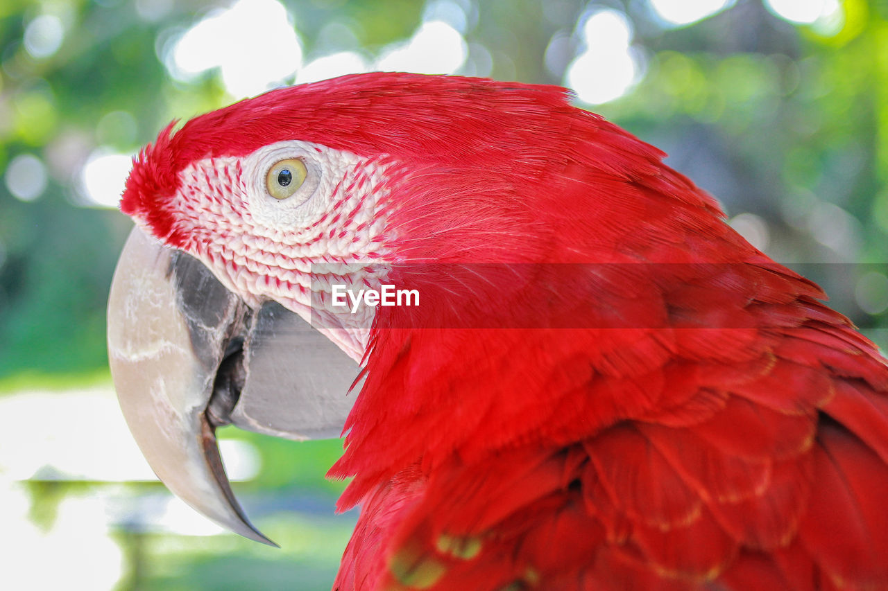 parrot, red, animal themes, one animal, animal, vertebrate, bird, close-up, animals in the wild, animal wildlife, focus on foreground, scarlet macaw, macaw, day, no people, beak, nature, outdoors, zoology, animal body part, profile view, animal eye