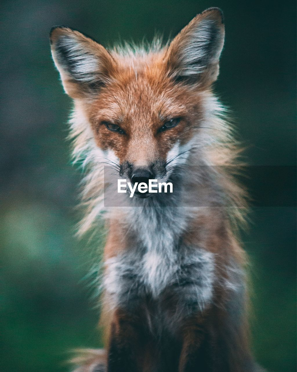 one animal, animal themes, animal, animals in the wild, mammal, animal wildlife, no people, vertebrate, portrait, close-up, focus on foreground, day, fox, nature, animal body part, looking at camera, animal head, looking, outdoors, land