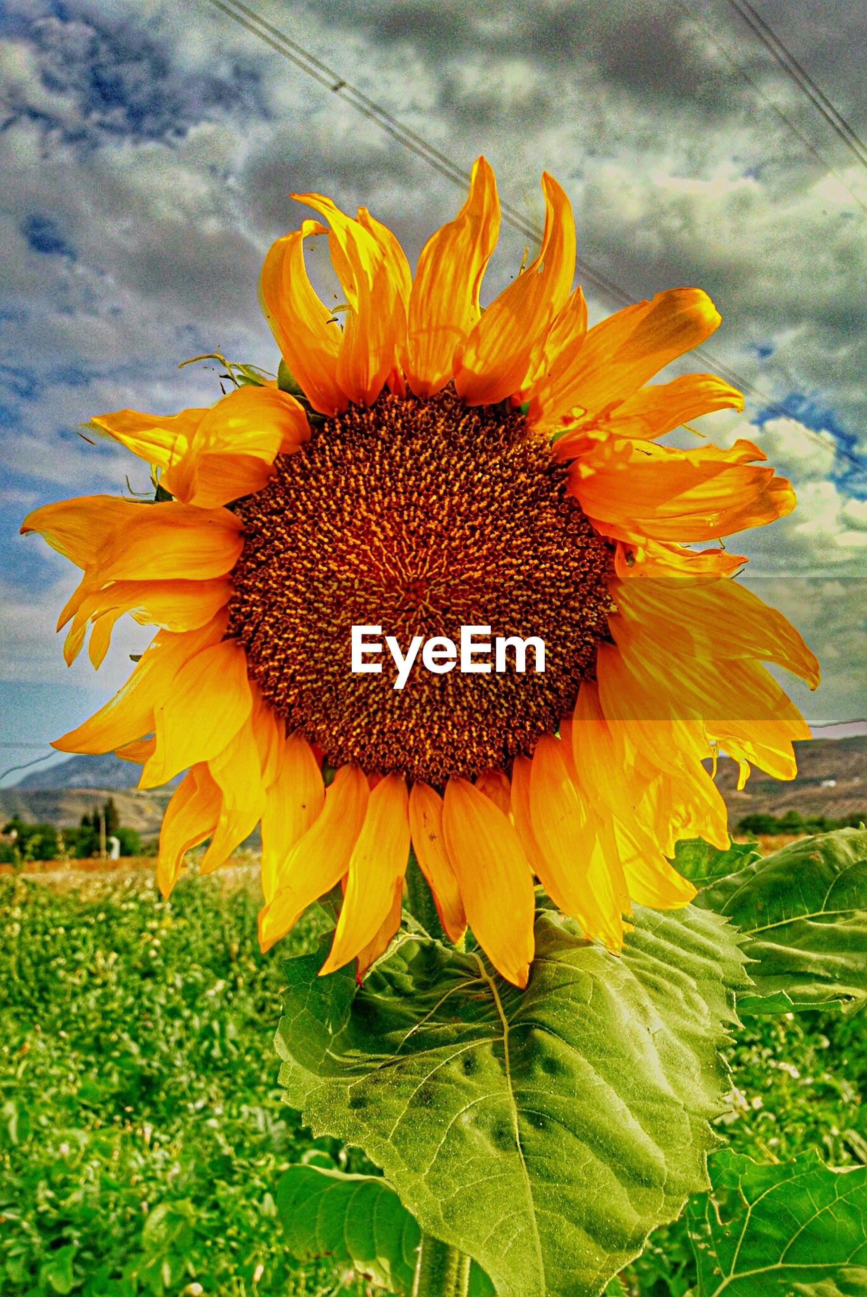 Close-up of sunflower blooming on field against cloudy sky