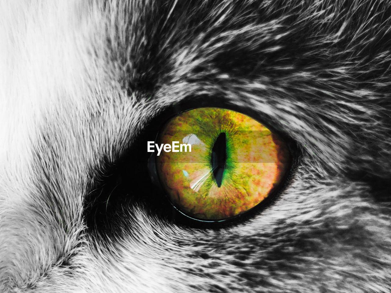 one animal, pets, domestic animals, domestic cat, animal themes, mammal, close-up, no people, indoors, feline, portrait, day, eyeball