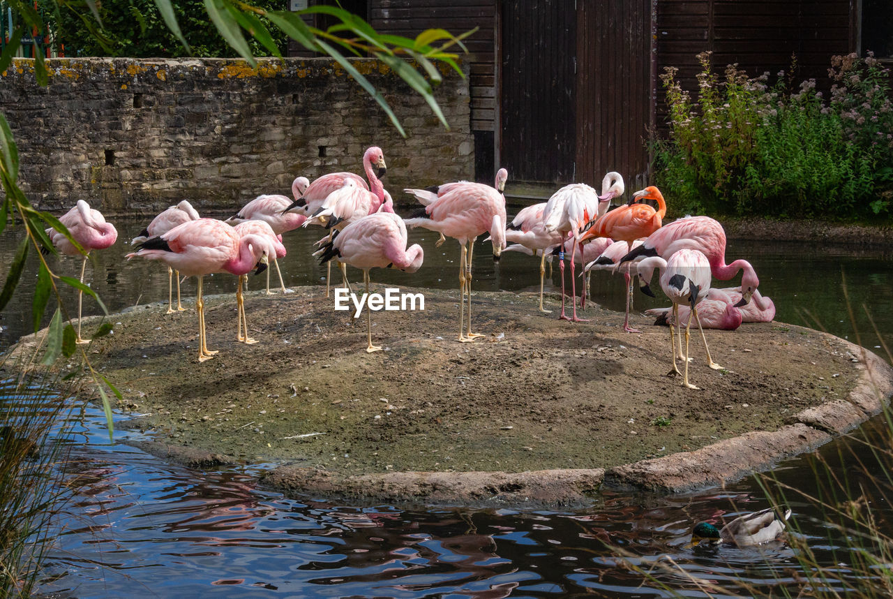 animal themes, animal, group of animals, flamingo, vertebrate, lake, bird, water, animals in the wild, animal wildlife, no people, day, large group of animals, nature, reflection, pink color, beauty in nature, plant, outdoors, flock of birds, drinking, freshwater bird