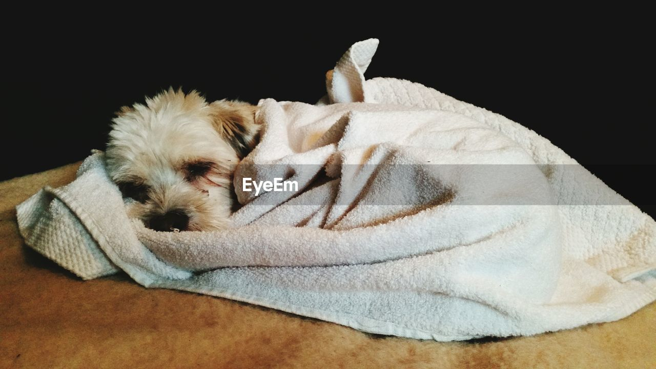 Close-Up Of Dog Wrapped In Towel