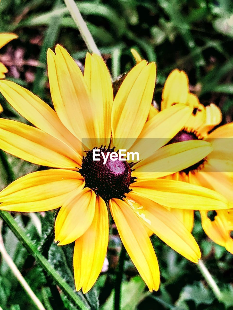 flower, yellow, petal, fragility, flower head, beauty in nature, growth, nature, freshness, plant, blooming, black-eyed susan, pollen, no people, close-up, day, outdoors, focus on foreground