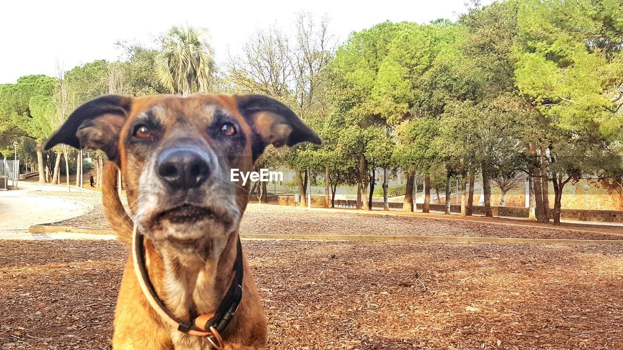 dog, tree, pets, domestic animals, animal themes, one animal, mammal, day, outdoors, looking at camera, portrait, german shepherd, no people, nature, sky