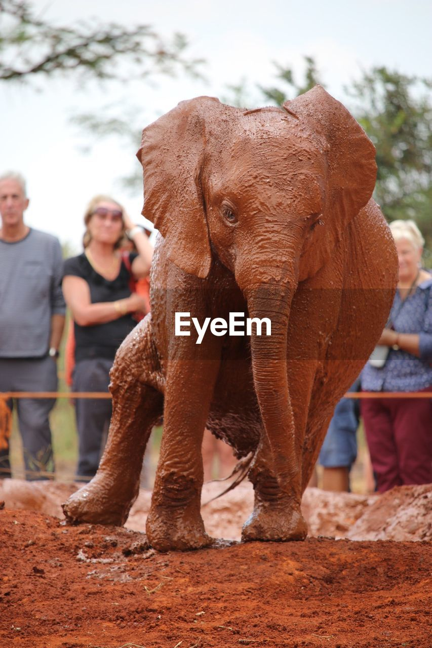 mammal, elephant, focus on foreground, one animal, domestic animals, day, real people, animal wildlife, vertebrate, standing, domestic, pets, lifestyles, front view, people, brown, livestock, herbivorous, outdoors, animal trunk