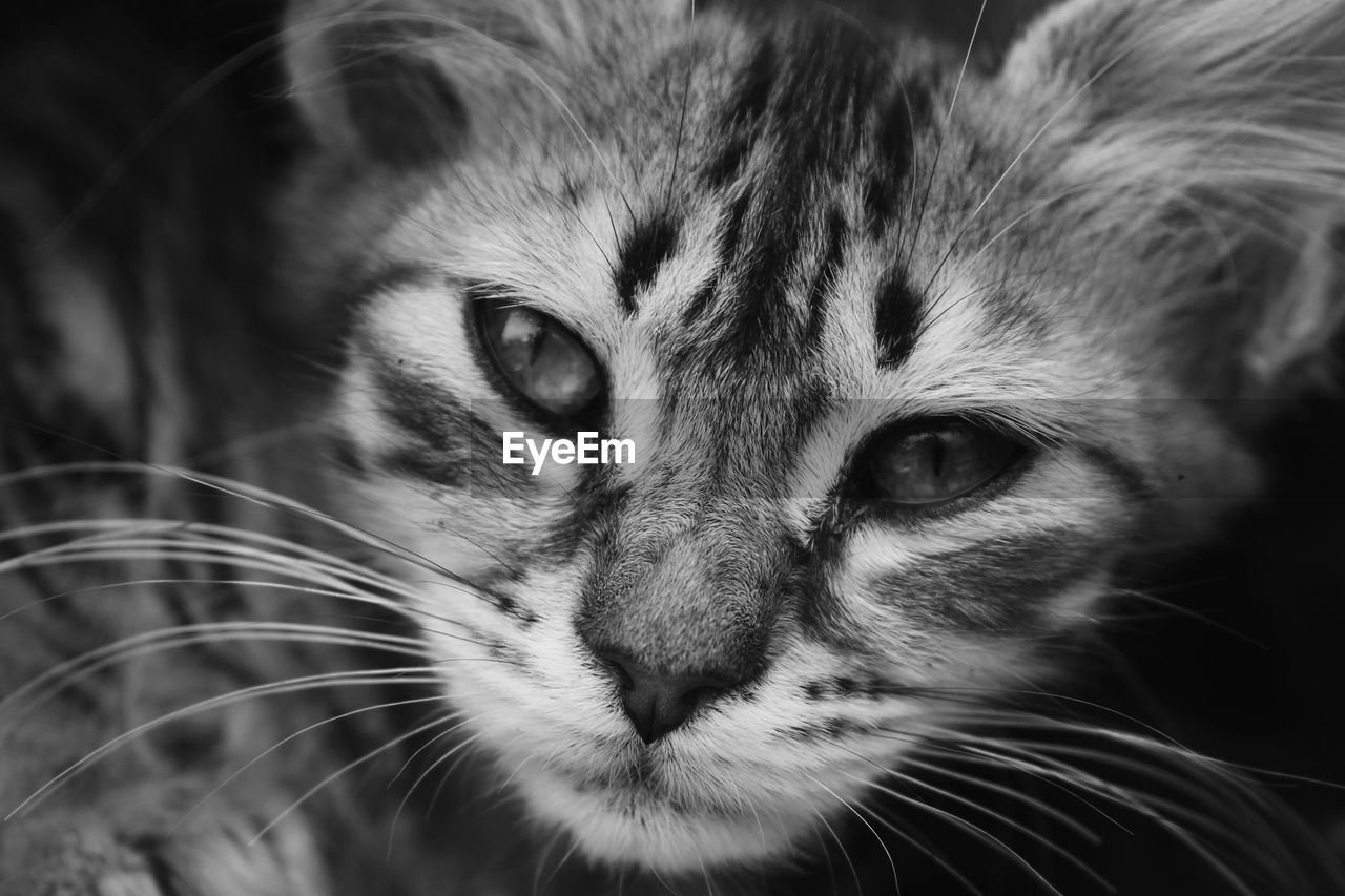 mammal, cat, animal themes, one animal, animal, feline, pets, domestic animals, whisker, close-up, vertebrate, domestic, domestic cat, animal body part, animal head, no people, portrait, focus on foreground, looking at camera, looking, animal eye, tabby, snout, animal nose