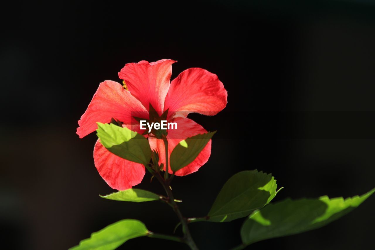 flower, leaf, fragility, petal, plant, red, beauty in nature, growth, nature, freshness, flower head, blooming, black background, no people, close-up, hibiscus, outdoors, day, periwinkle