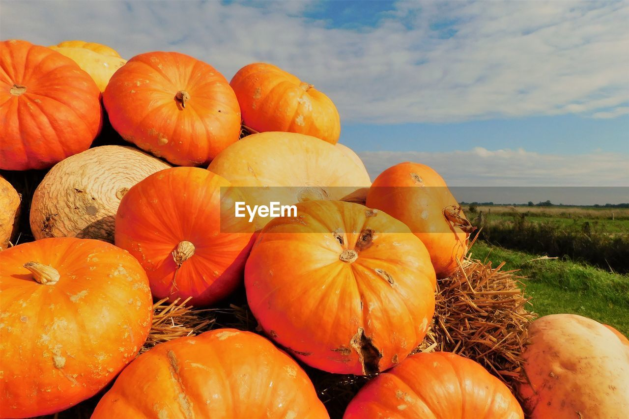 CLOSE-UP OF PUMPKINS IN FIELD AGAINST SKY