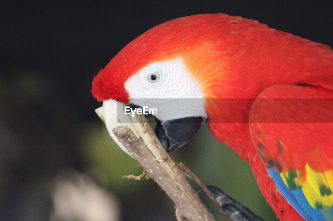 bird, animal, animal themes, vertebrate, one animal, animals in the wild, animal wildlife, parrot, close-up, macaw, red, beak, no people, focus on foreground, perching, orange color, scarlet macaw, nature, day, branch, animal eye, animal head, profile view