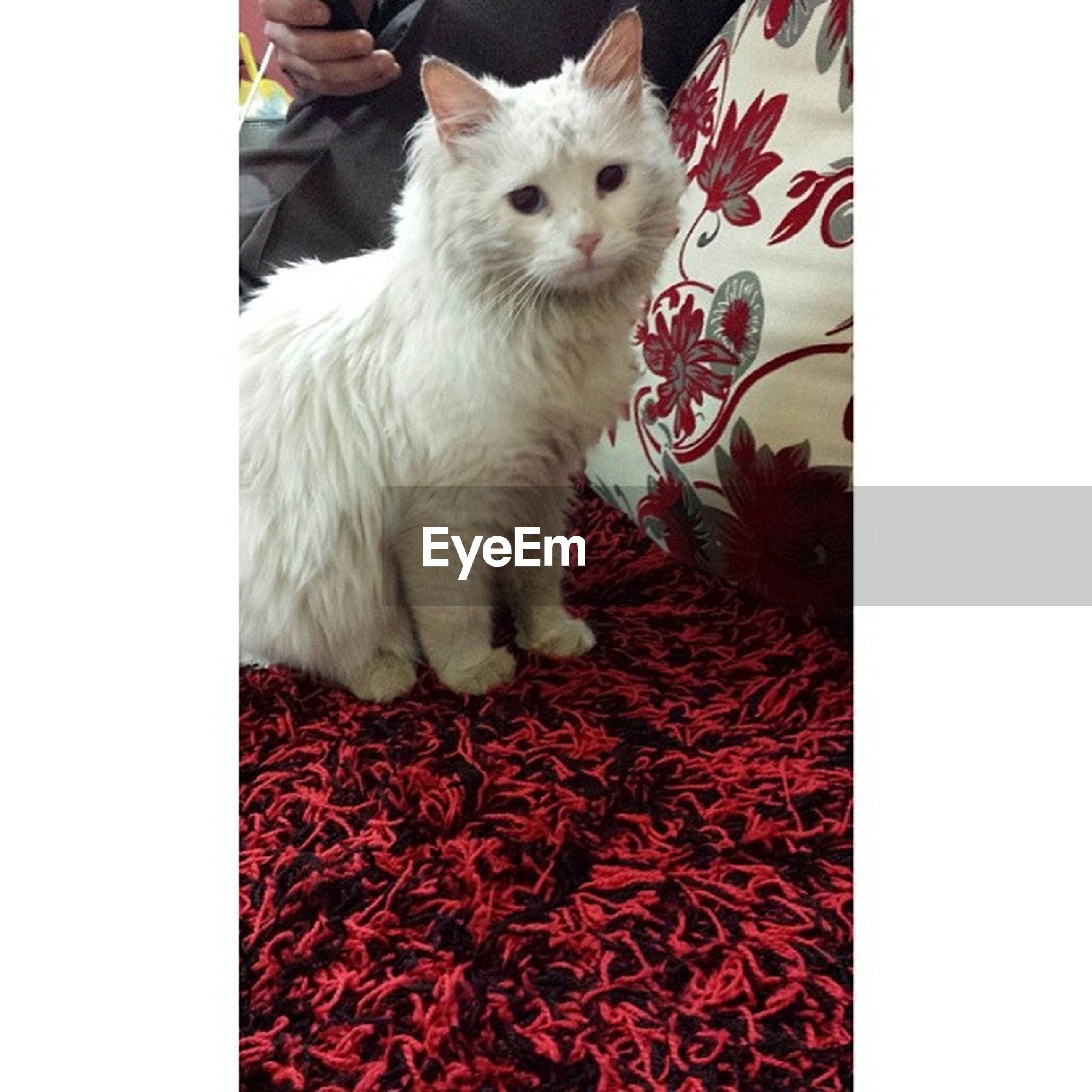domestic animals, pets, animal themes, one animal, transfer print, mammal, auto post production filter, cat, dog, domestic cat, indoors, white color, portrait, red, looking at camera, vertebrate, feline, no people, relaxation, full length