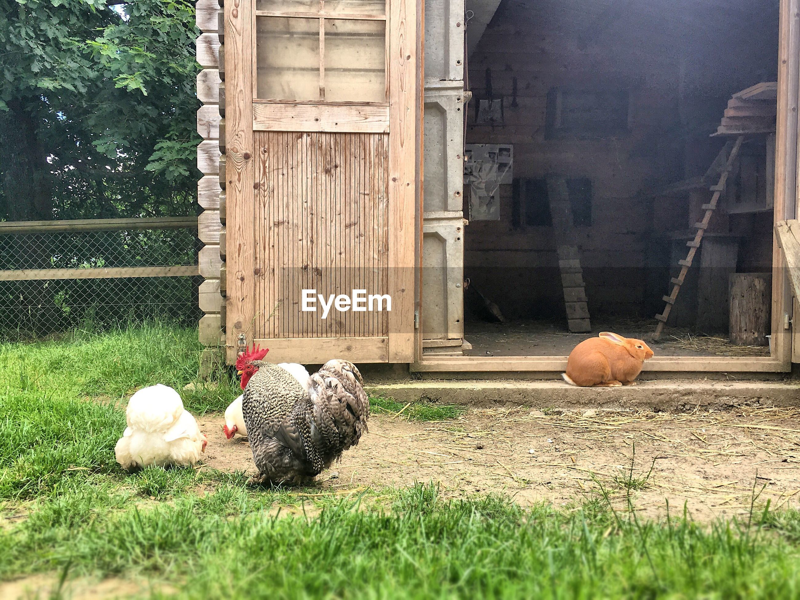 Free range chickens and rabbit by barn at farm