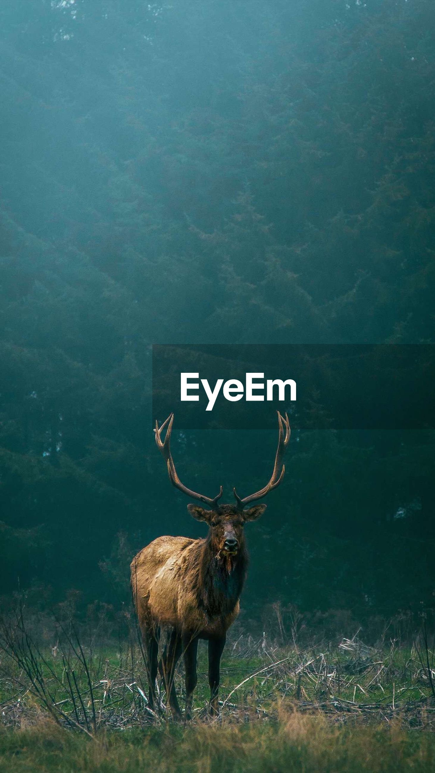Stag standing in forest