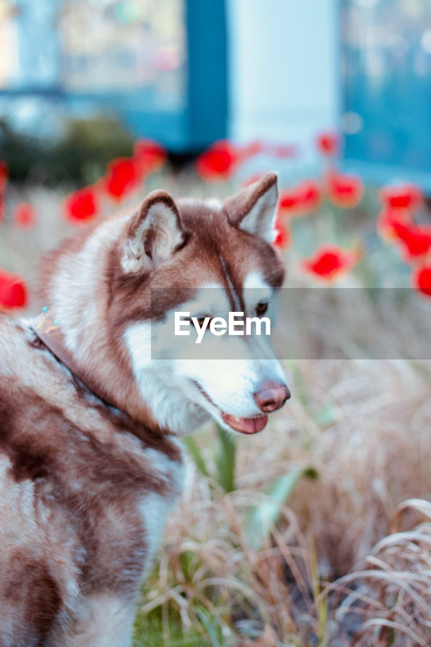 animal, one animal, mammal, animal themes, domestic, pets, domestic animals, canine, dog, vertebrate, focus on foreground, looking, no people, day, sled dog, looking away, nature, field, close-up, outdoors