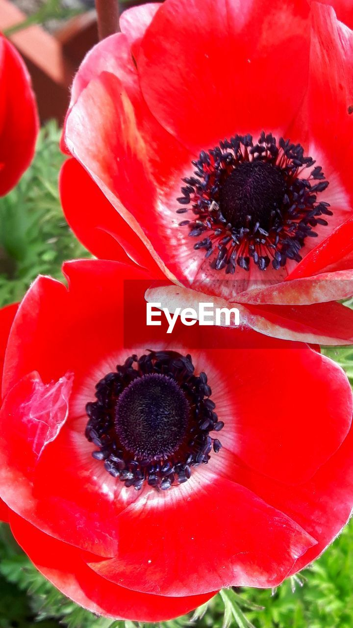 flower, petal, growth, fragility, flower head, nature, red, beauty in nature, freshness, plant, close-up, no people, outdoors, blooming, day, poppy