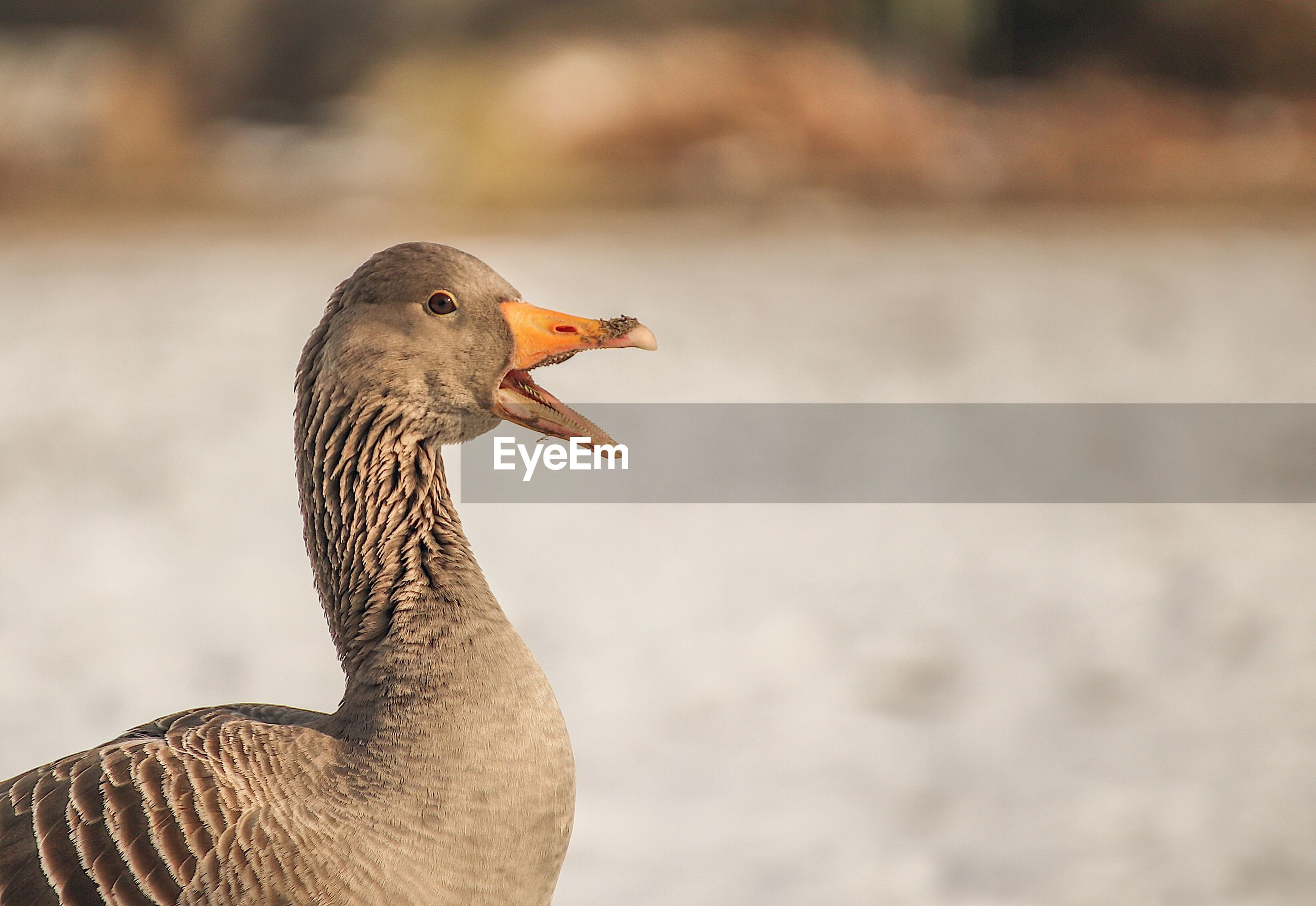 Close-up of goose against lake