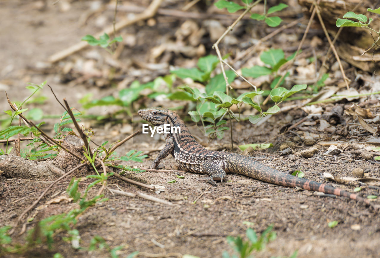 animal themes, animal wildlife, animal, animals in the wild, one animal, vertebrate, reptile, nature, selective focus, lizard, no people, land, day, field, outdoors, looking, plant, high angle view, close-up, ground, animal scale, poisonous
