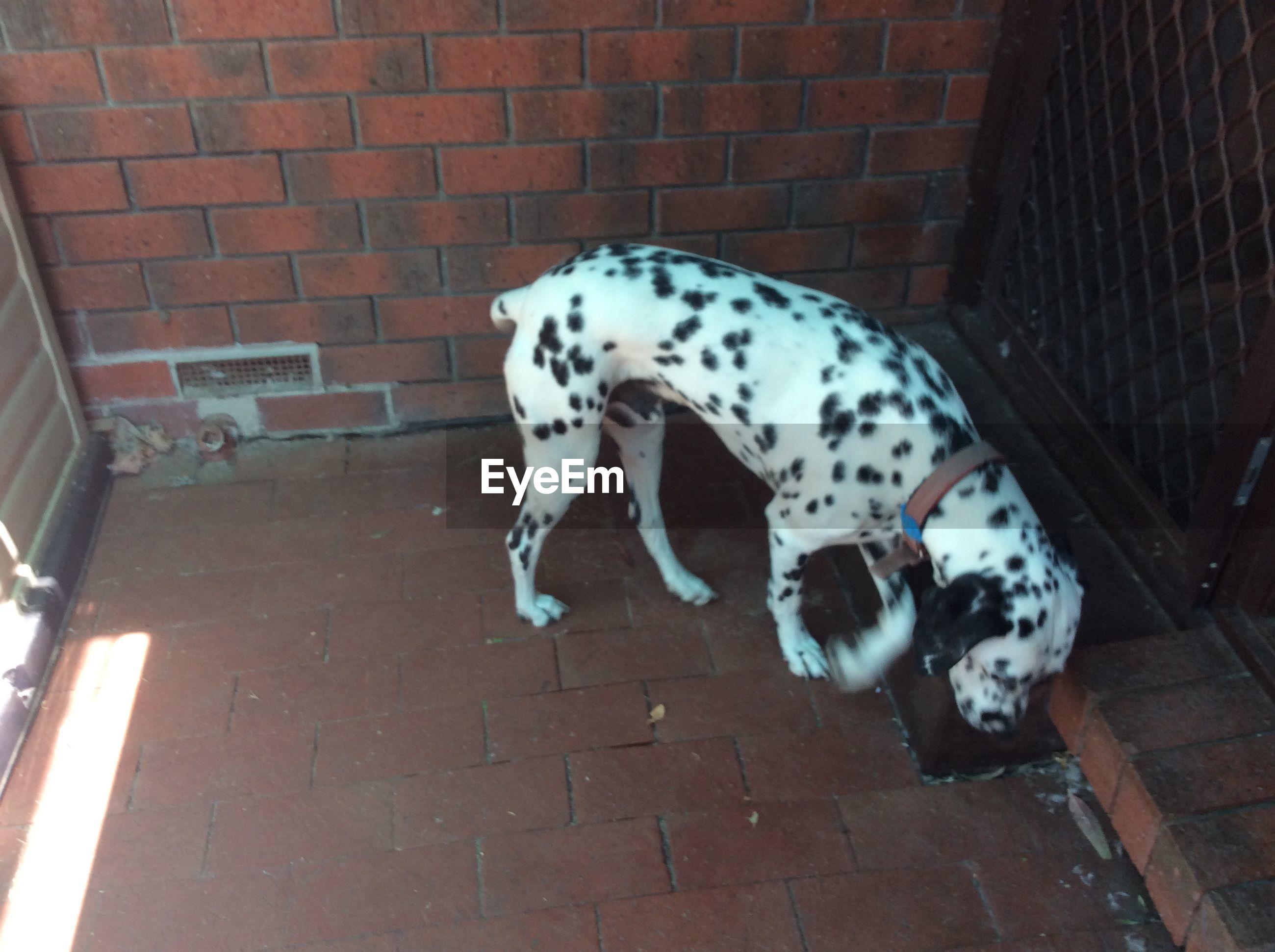 dalmatian dog, pets, dog, domestic animals, animal themes, brick wall, mammal, one animal, no people, day, outdoors