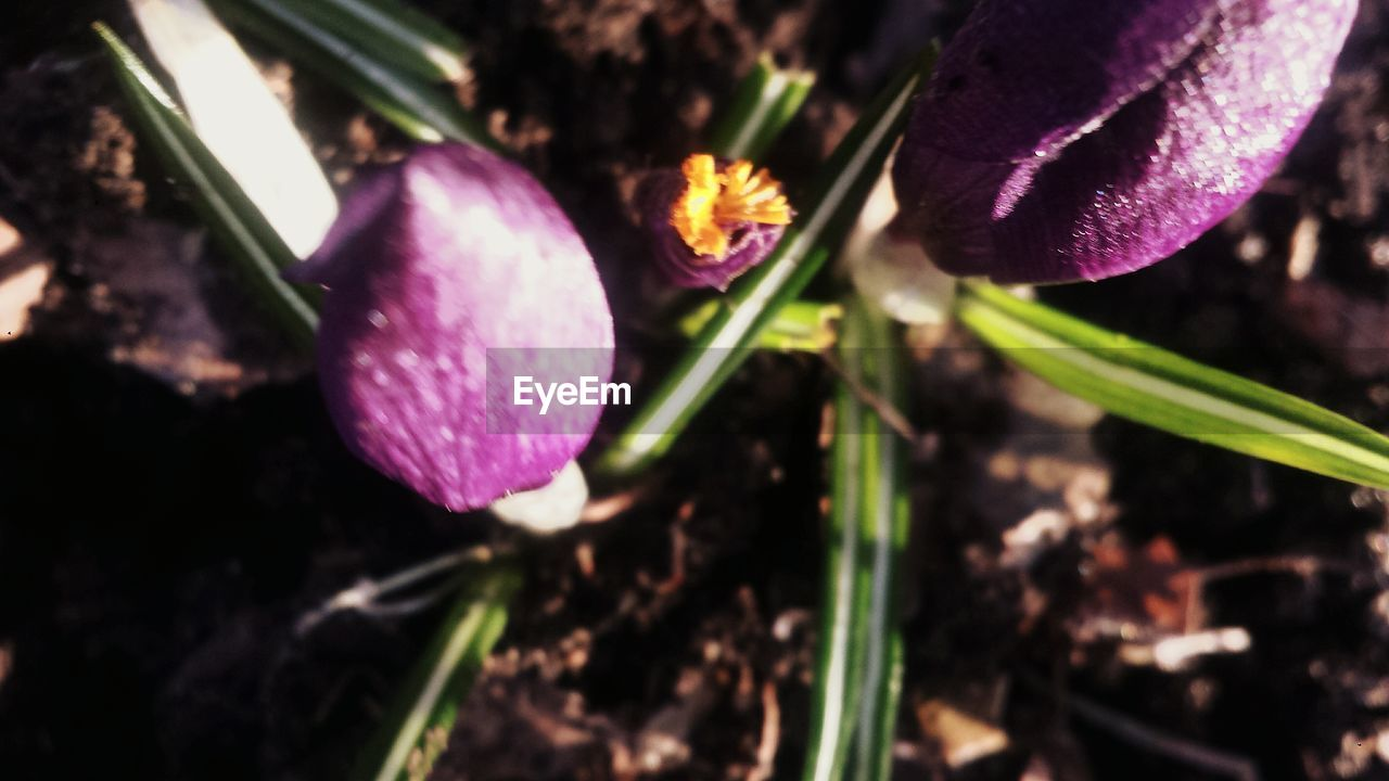 purple, freshness, flower, fragility, beauty in nature, growth, nature, close-up, petal, plant, no people, outdoors, day, flower head, crocus