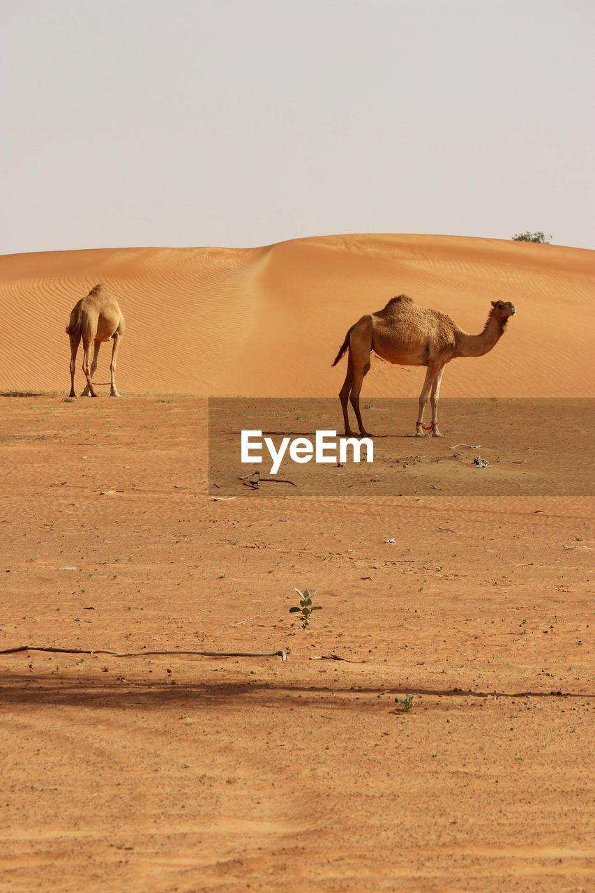 mammal, animal themes, animal, group of animals, desert, domestic animals, land, sky, camel, sand, vertebrate, arid climate, climate, landscape, environment, clear sky, nature, animal wildlife, day, working animal, no people, herbivorous, outdoors