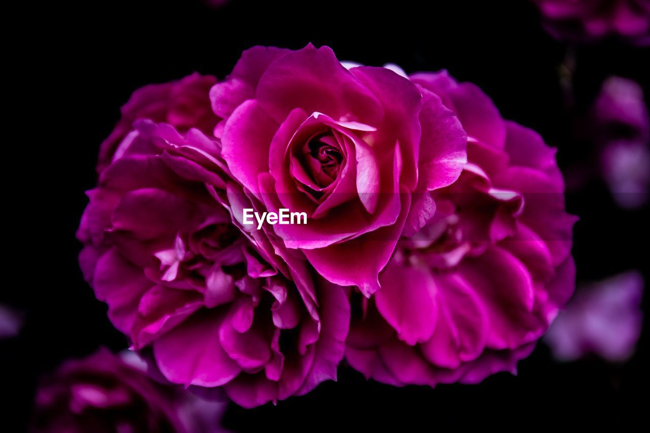 beauty in nature, flower, petal, freshness, flowering plant, inflorescence, flower head, plant, close-up, vulnerability, fragility, rose, rose - flower, pink color, black background, nature, growth, studio shot, focus on foreground, no people, purple