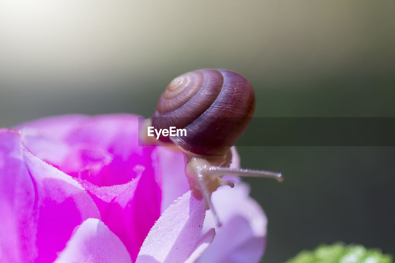 invertebrate, close-up, flower, fragility, gastropod, mollusk, vulnerability, one animal, flowering plant, snail, animal themes, animal, beauty in nature, plant, animals in the wild, petal, animal wildlife, animal antenna, focus on foreground, day, no people, flower head