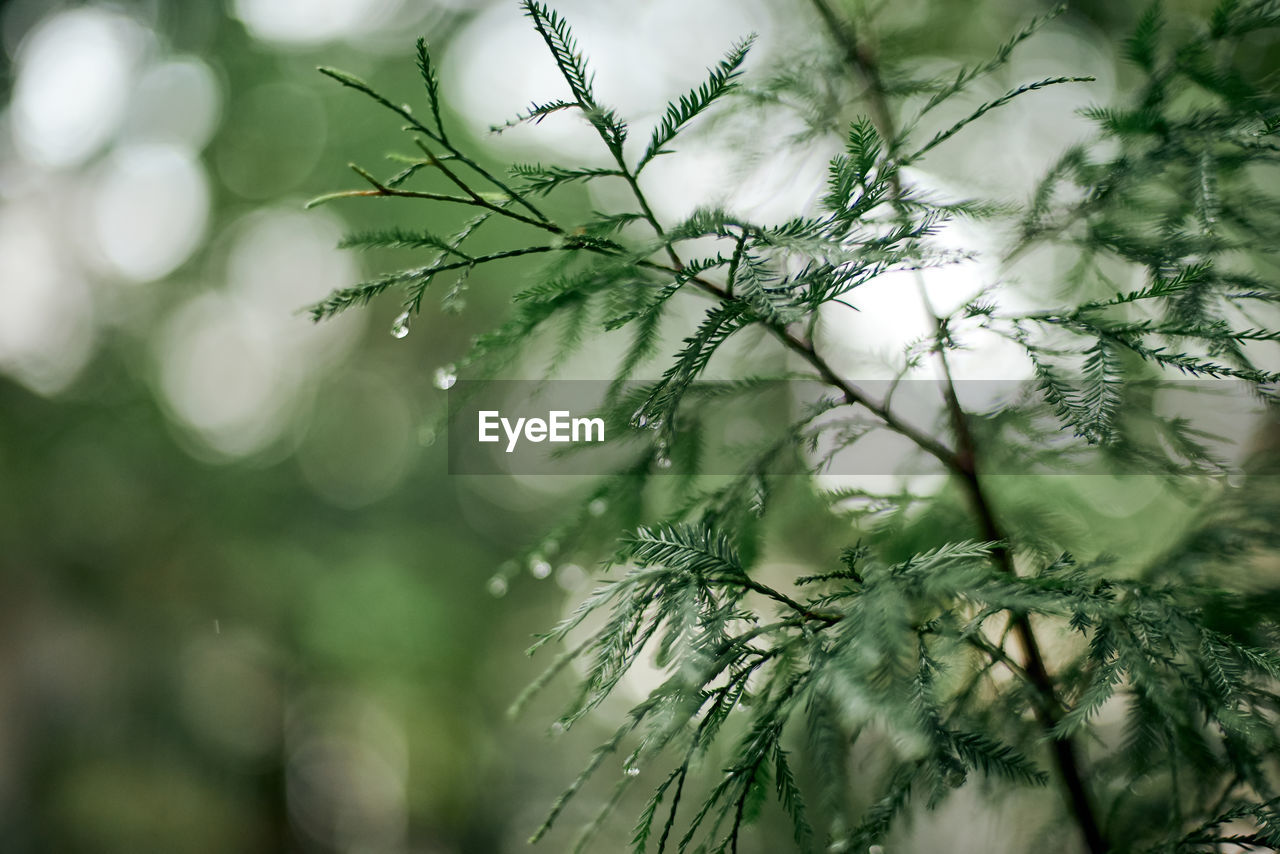 plant, selective focus, close-up, growth, no people, beauty in nature, nature, drop, day, water, green color, tree, focus on foreground, tranquility, freshness, fragility, vulnerability, wet, outdoors, needle - plant part, softness, pine tree, coniferous tree, fir tree, dew