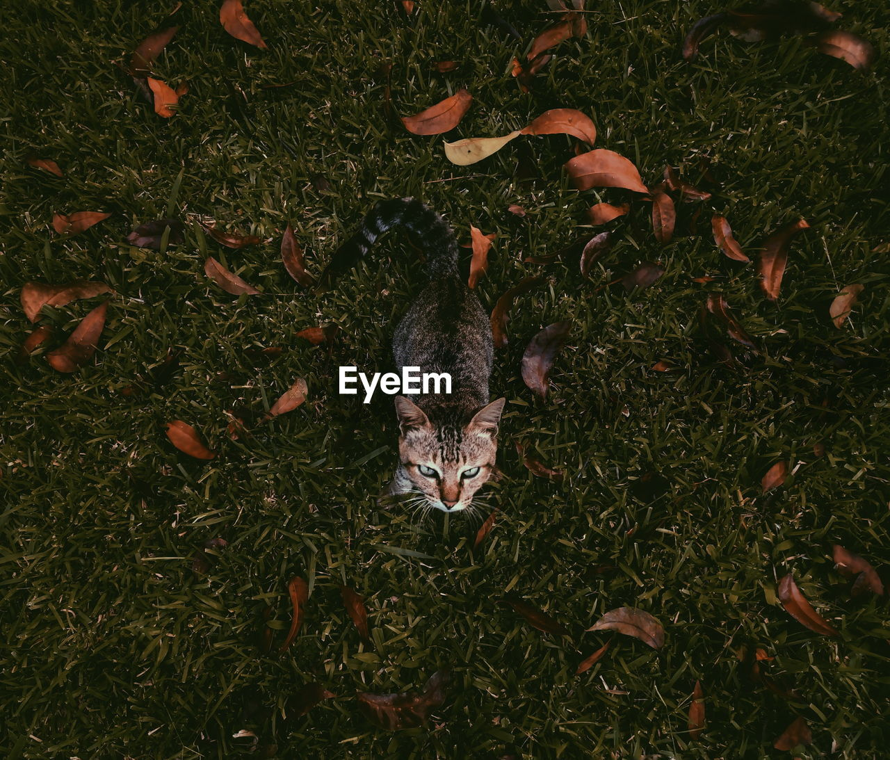 High Angle View Of Tabby On Grassy Field