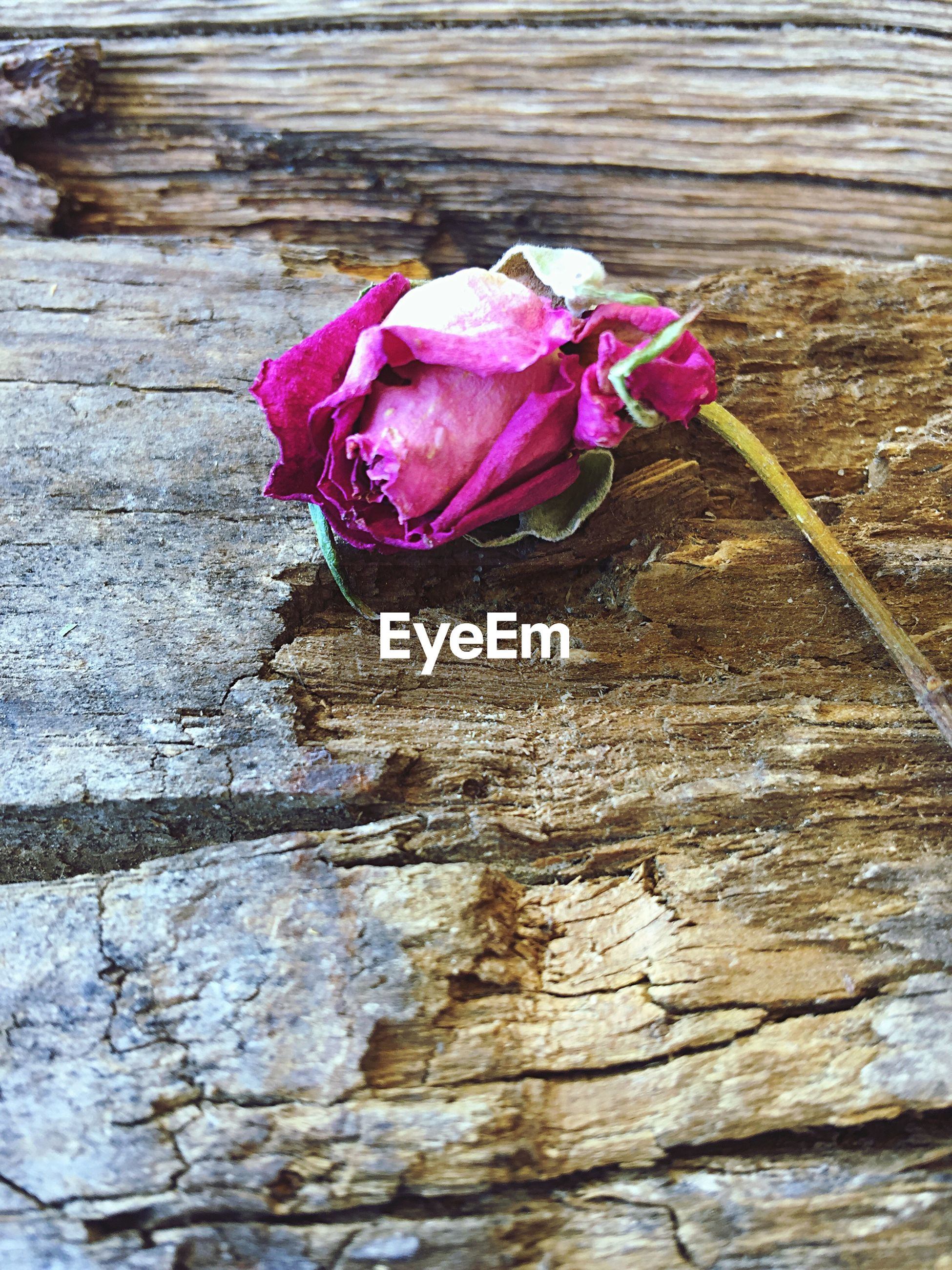 Nature Flower Fragility Close-up Flower Head Pink Color Rose wilted photography beautiful iphone6+ Beauty In Nature Pretty Petals The Week On EyeEm