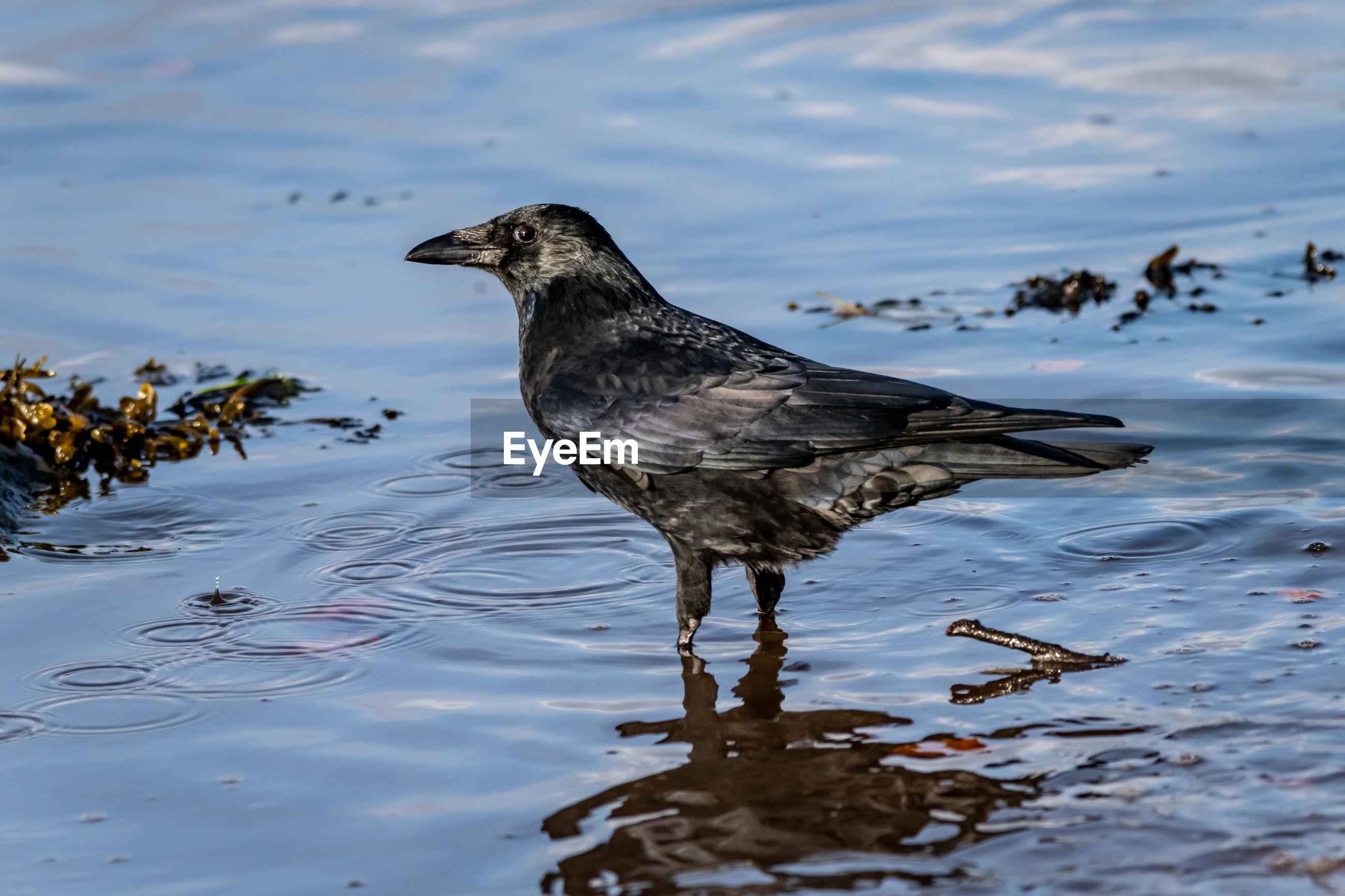 Crow perching at beach