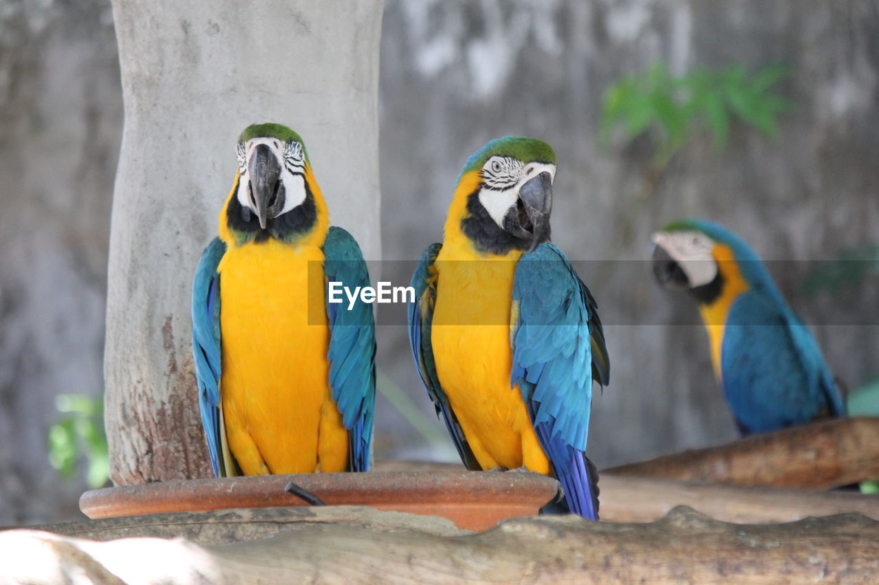animal, animal themes, bird, vertebrate, group of animals, animal wildlife, parrot, perching, animals in the wild, macaw, two animals, gold and blue macaw, focus on foreground, no people, yellow, day, tree, close-up, outdoors, parakeet, zoo