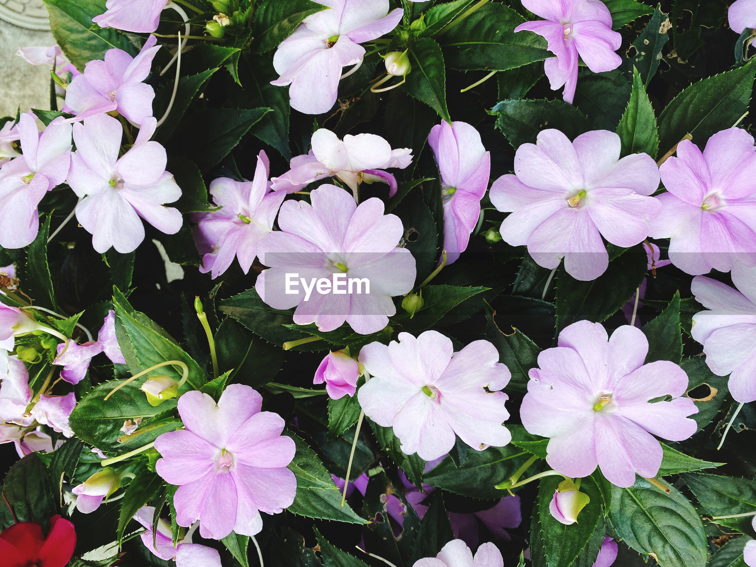 HIGH ANGLE VIEW OF FRESH PURPLE FLOWERS