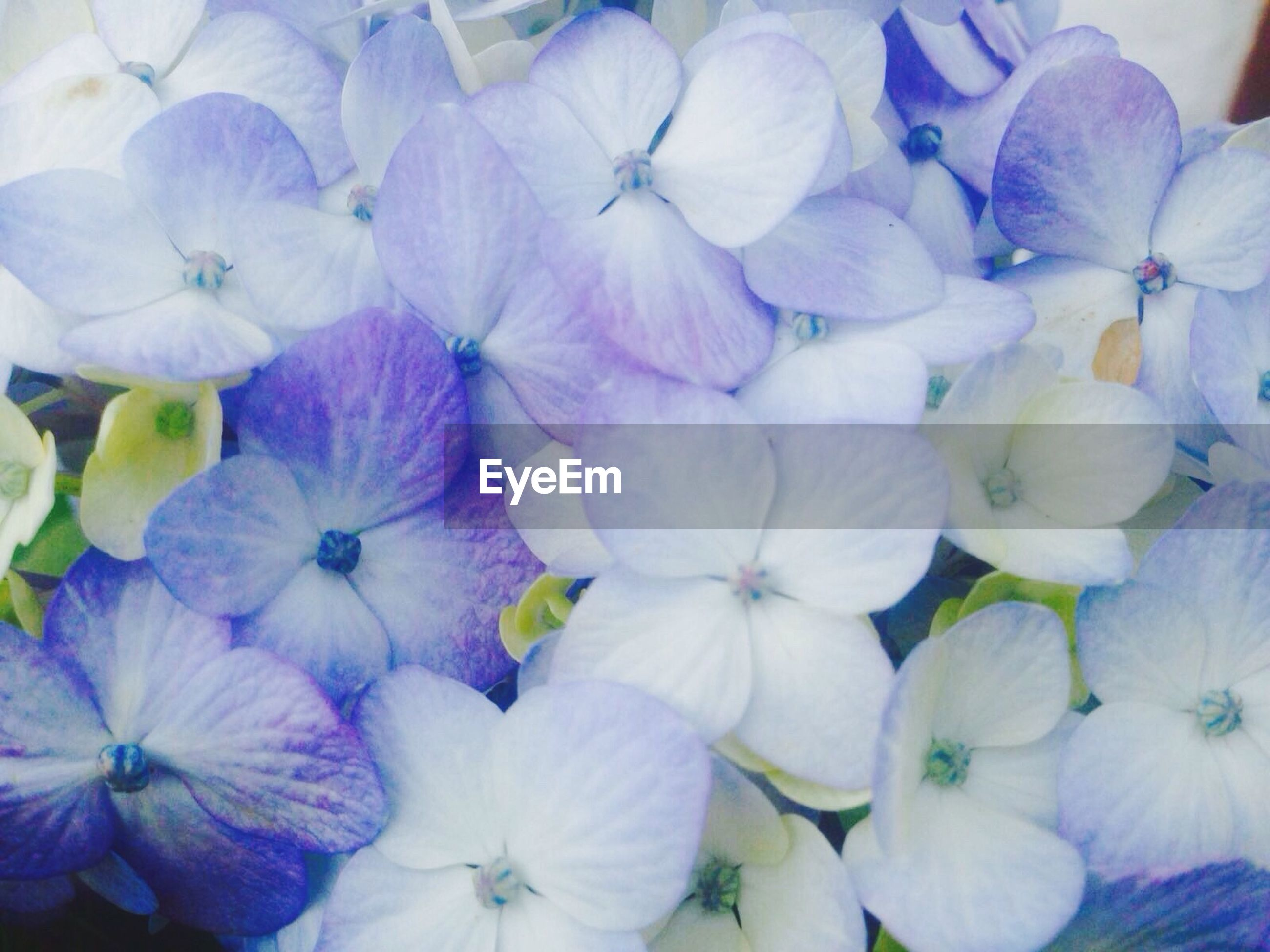 flower, petal, fragility, freshness, flower head, full frame, backgrounds, beauty in nature, purple, growth, abundance, nature, blooming, close-up, plant, hydrangea, white color, blue, large group of objects, high angle view