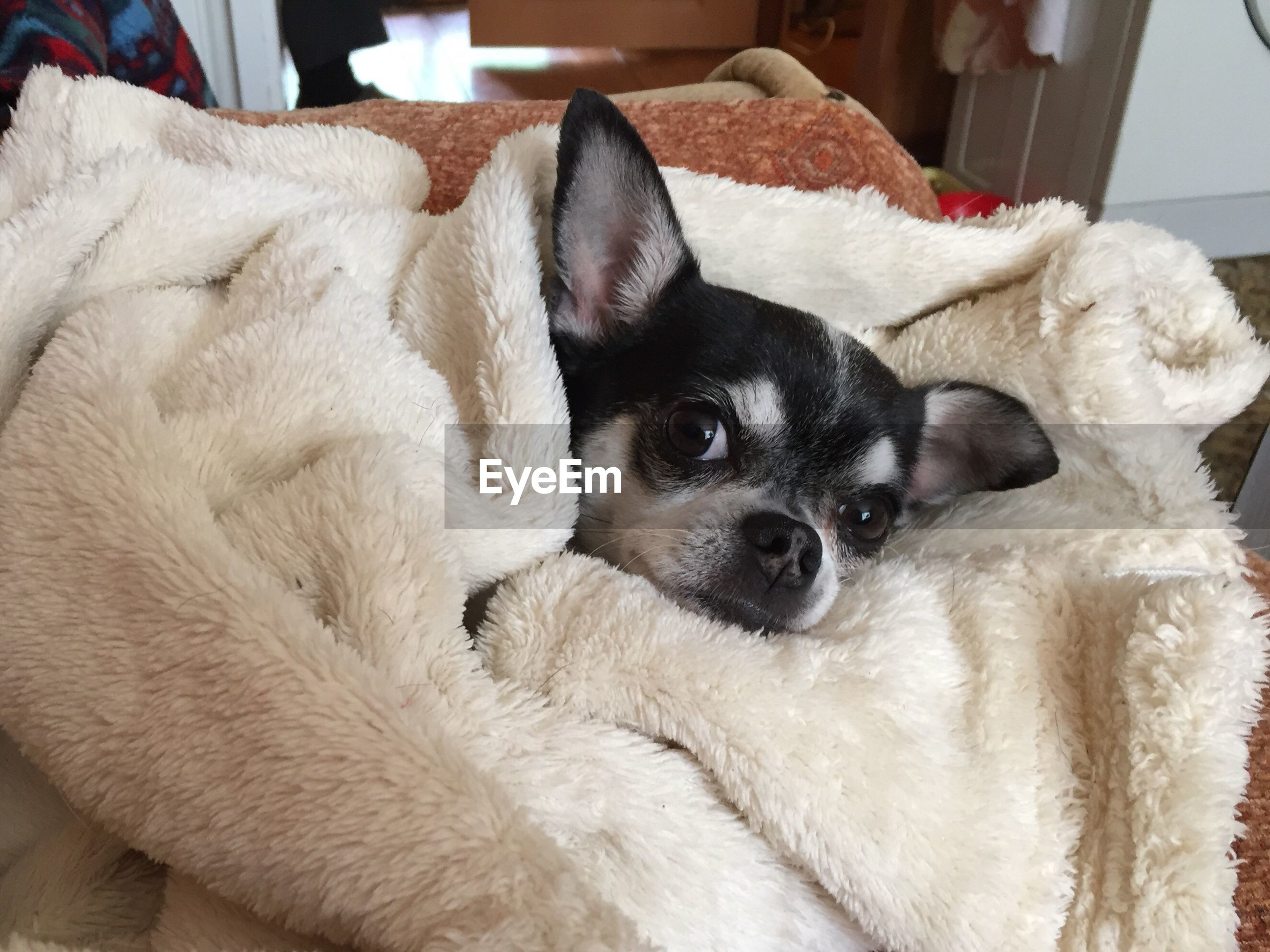 Close-up portrait of chihuahua wrapped in blanket at home