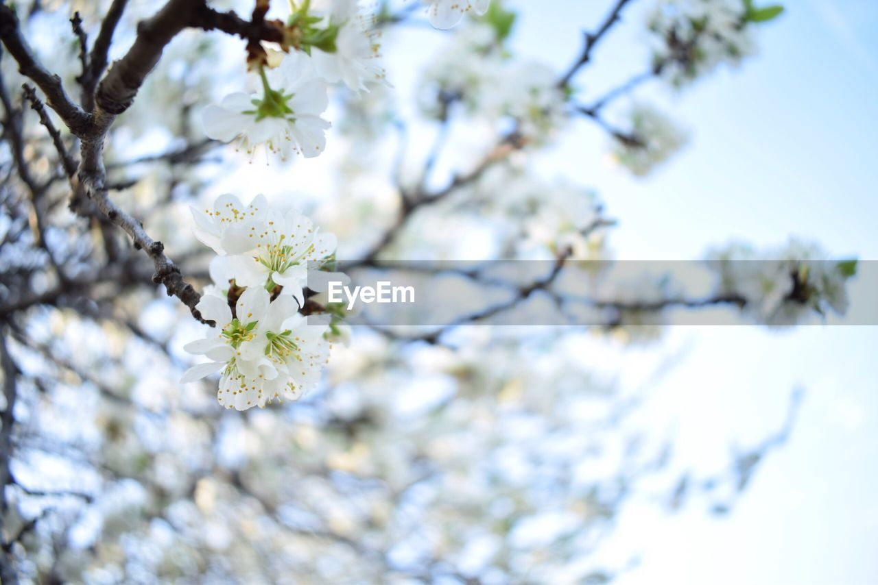 LOW ANGLE VIEW OF WHITE CHERRY BLOSSOM