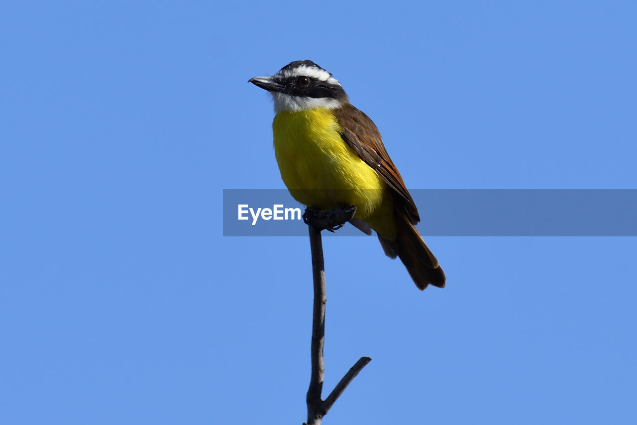 vertebrate, bird, animal themes, animal wildlife, animals in the wild, animal, one animal, perching, blue, copy space, clear sky, low angle view, sky, no people, nature, day, plant, beauty in nature, yellow, outdoors