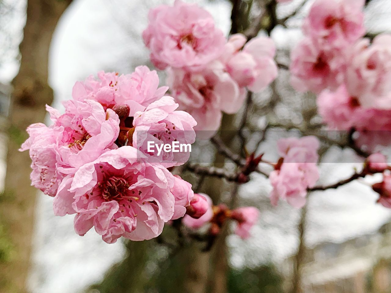 flowering plant, flower, pink color, plant, freshness, fragility, beauty in nature, blossom, vulnerability, tree, springtime, petal, close-up, growth, cherry blossom, branch, inflorescence, cherry tree, flower head, nature, no people, outdoors, pollen, bunch of flowers, plum blossom, spring