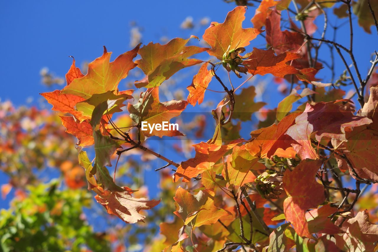 Close-Up Of Maple Tree Against Sky During Autumn